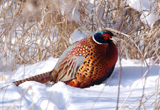 Winter Pheasant. Photograph of a brilliantly colored rooster Pheasant in a winter landscape stock images