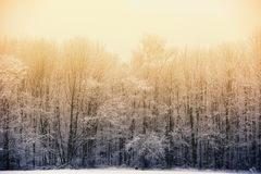Winter phenomenon: Evening sun behind foggy winter forest