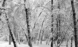 Winter photo landscape. With snow-covered trees in the park Stock Photography