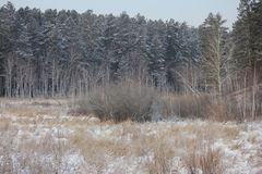 Winter photo. Of the pine and birch trees forest Stock Images
