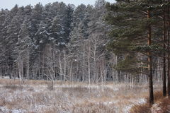 Winter photo. Of the pine and birch trees forest Stock Image