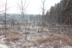 Winter photo. Of the pine and birch trees forest Royalty Free Stock Photos
