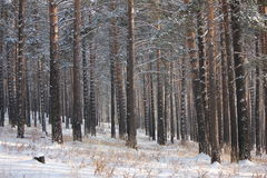 Winter photo. Of the pine trees forest Royalty Free Stock Photo