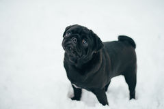 Winter Photo of a small pug Monica Royalty Free Stock Photo
