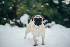 Winter Photo of a small pug sweet Stock Photos