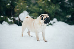 Winter Photo of a small pug sweet Stock Photo