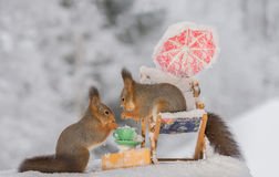 Winter picnic. Close up of red squirrel standing on a chair with another squirrel with a cup Royalty Free Stock Photo