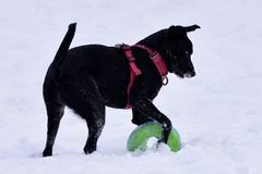 Puppy in the Snow. This is a Winter picture of a Black Labrador Retriever puppy playing with a disc in the snow in Lincoln Park in Chicago, Illinois in Cook stock image