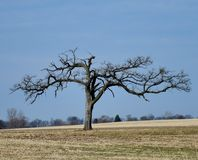 Dormant Tree. This is a Winter picture of a dormant Tree in a farm field located in a Elburn, Illinois in Kane County. This picture was taken on December 19 royalty free stock photos