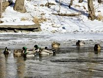 Cold Flock of Mallards. This is a Winter picture of a small flock of Mallards resting in an open pool on Salt Creek below the waterfall located in Oak Brook Royalty Free Stock Images