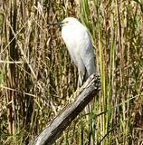A Snowy Egret. This is a Winter picture of a Snowy Egret perched on a post in the Everglades located in the Big Cypress National Preserve at Ochopee, Florida in royalty free stock image