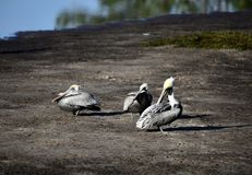 Brown Pelicans #5. This is a Winter picture of three Brown Pelicans on a sandbar on the Bayou Grande located in Pensacola, Florida in Escambia County. This royalty free stock photos