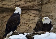 Bald Eagles. This is a Winter picture of two Bald Eagles perched on a snow covered branch, they are on exhibit at the Lincoln Park Zoo located in Chicago Stock Images