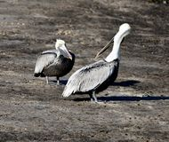 Brown Pelicans #3. This is a Winter picture of two Brown Pelicans on a sandbar on the Bayou Grande located in Pensacola, Florida in Escambia County. This picture stock photos