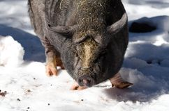 Winter pig. A pig walking around in the snow in Northern Arizona Stock Photography