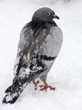 Winter pigeon Royalty Free Stock Photo