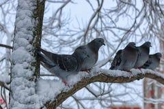 Winter pigeon sitting on a tree Stock Photo