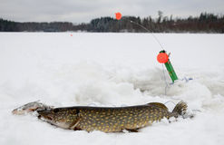 Winter pike fishing in Sweden. Winter fishing trophy during fishing in southern Sweden Stock Photos