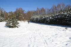 Winter Pine Royalty Free Stock Photos