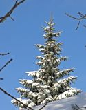 Winter Pine. Snow Blue Sky Stock Photo