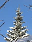 Winter Pine. Snow Blue Sky stock photo