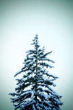 Winter pine Stock Photos