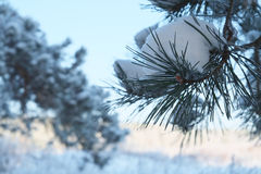 Winter pine branch Royalty Free Stock Photo