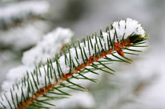 Winter Pine Branch with Snow Stock Photography