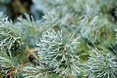 Winter pine branch. Snowflakes on a branch close-up Stock Photography
