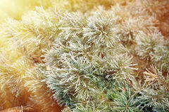 Winter pine branch. Snowflakes on a branch close-up Stock Images