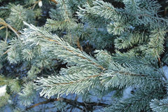 Winter pine branch. Snowflakes on a branch close-up Royalty Free Stock Image