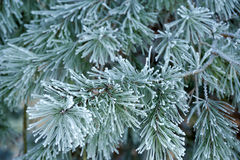 Winter pine branch. Snowflakes on a branch close-up Royalty Free Stock Photos