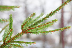 Winter pine branch. Royalty Free Stock Photo