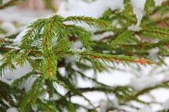 Winter pine branch taken closeup. Royalty Free Stock Images