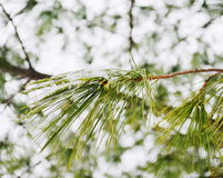 Winter pine branches Royalty Free Stock Image