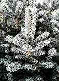 Winter Pine Branches Royalty Free Stock Photography