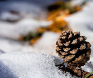 Winter pine cone Royalty Free Stock Image