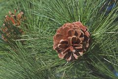 Winter Pine Cones Stock Photo