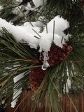 Winter pine cones and snow. Pine cones and snow on a juniper tree Stock Image