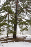 Winter in pine forest Royalty Free Stock Image