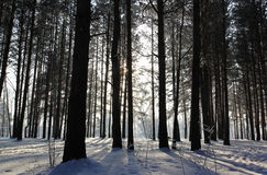 Winter Pine Forest Stock Photos