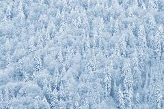 Winter Pine Forest. Pinewood in snow royalty free stock photo