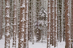 Winter Pine Forest Royalty Free Stock Image