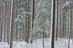 Winter Pine Forest Royalty Free Stock Photo