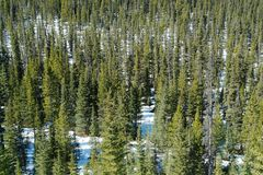 Winter pine forest. In canadian rockies along the icefield parkway, banff national park, alberta, canada royalty free stock image