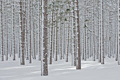 Winter, Pine Forest Royalty Free Stock Images