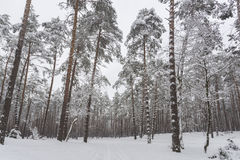 Winter. Pine forest Stock Image