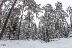 Winter. Pine forest Stock Photo