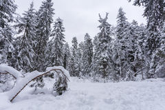 Winter. Pine forest Stock Photography