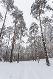 Winter. Pine forest Royalty Free Stock Photos